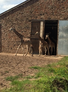 The giraffes leaving the giraffe house at Chester Zoo