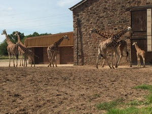 The giraffes at Chester Zoo
